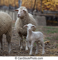 Lamb and sheep on the farm - Cute lamb standing beside...