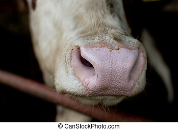 Close up of cow's muzzle