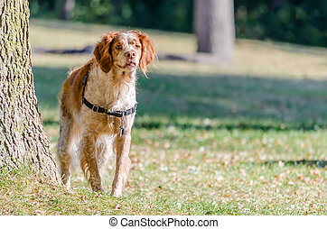 Old spotted Brittany Spaniel dog in the woods