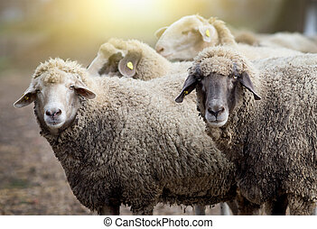 Sheep herd on the farm - Close up of two sheep looking at...