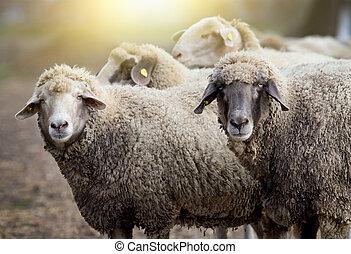 sheep, granja, manada
