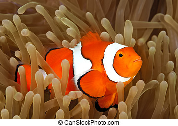 Clown Anemonefish in Sea Anemone - Clown Anemonefish,...