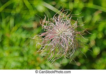 Fruiting plants of Pulsatilla alpina flower during summer in...