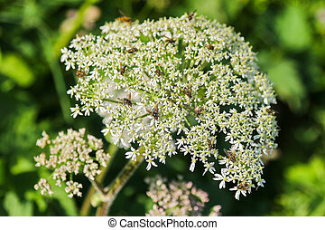 Insects on Cow Parsley flower (Anthriscus sylvestris) during...