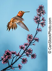 Rufous Hummingbird over bluer sky background - Rufous...
