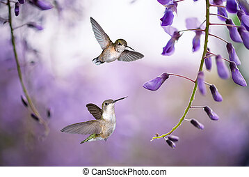 Hummingbirds over background of purple wisteria - Delicate...