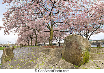Cherry Blossom Trees with Large Rocks in Spring - Cherry...
