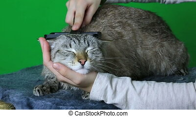 Combing hair cat after washing. - Combing hair cat after...