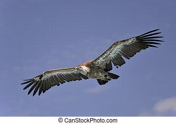 Griffon vulture in flight - Griffon vulture Gyps fulvus in...