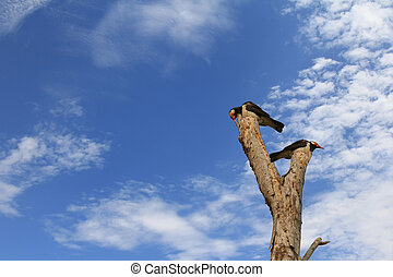 Asian Pied myna starling birds (Gracupica contra) perching...