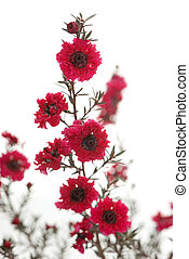 flowers of myrtle in front of white background