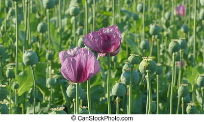 Blooming poppy flower and cocoons - Poppy flower and green...