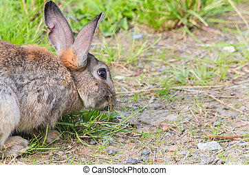Wild rabbit in the grass - Wild rabbit photographed from the...