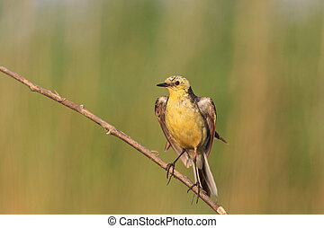 Western yellow wagtail with open wings ,yellow bird at...