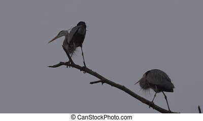 Two Great Blue Herons Ardea herodias on a tree