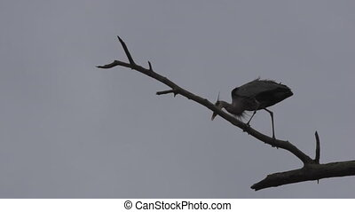Great Blue Herons Ardea herodias on a tree