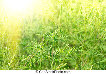 Green grass ragweed growing in a field