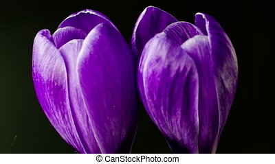 Flowers, purple crocuses bloom Spring awakening Format...