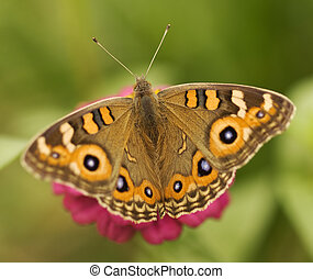 Australian butterfly Meadow argus Junonia villida brown -...