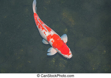 Koi fish in the pond.