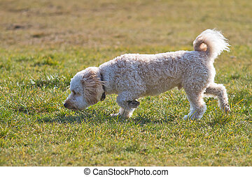Cavapoo puppy sniffing. - Cavapoo puppy smelling the grass.