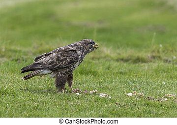 Common Buzzard standing in a field with food