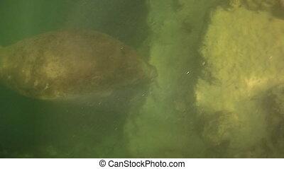 Injured Florida Manatee - Injured Manatee with visible deep...