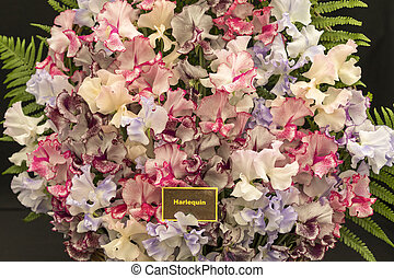 Harlequin Sweet Pea Flowers - Colorful Fragrant Harlequin...