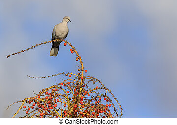 Collard Dove (Streptopelia decaocta) on a tree with berries