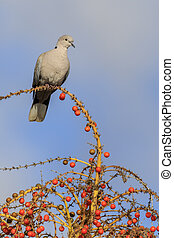 Collard Dove Streptopelia decaocta on a tree with berries