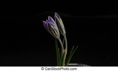White Crocus Bloom, Blossom timelapse, snowdrops - White...
