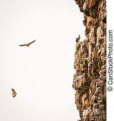 Vultures Soaring - Large Vultures in flight near a canyon...