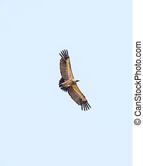 Vulture in Flight - Vulture in flight overhead against a...