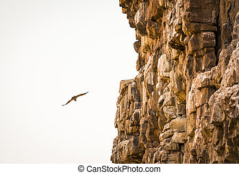 Vulture Soaring - Large Vulture in flight soaring down a...