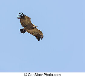 Vulture Flying Overhead - Vulture in flight overhead against...