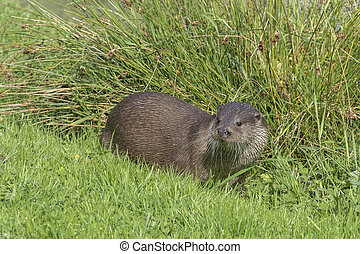 Otter Lutra lutra in the wild