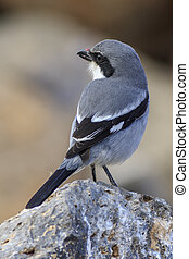 Southern Grey Shrike Lanius meridionalis perched on a rock...