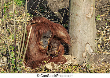 Sumatran orangutang mother and child sitting together