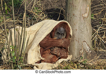 Sumatran orangutang hiding under a cloth