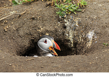 Puffins (Fratercula arctica) in the nest
