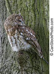 tawny owl Strix aluco perched in a tree