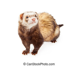 Adorable Ferret Isolated on White