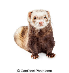 Cute Brown Pet Ferret Over White