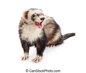 Pet Ferret Licking Lips