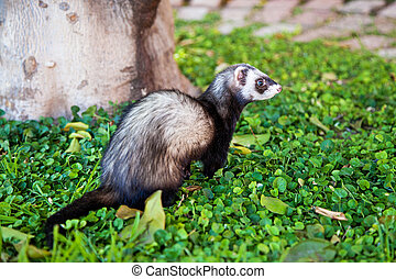 Cute Ferret Outdoors on Green Plants