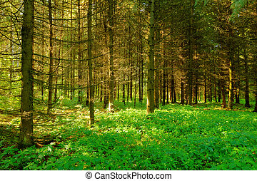 sunlight rays in the forest - mysterious fir forest with...