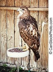 Profile of a Golden eagle - Aquila chrysaetos - animal scene...