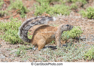 Ground squirrel between succulents - A ground squirrel,...