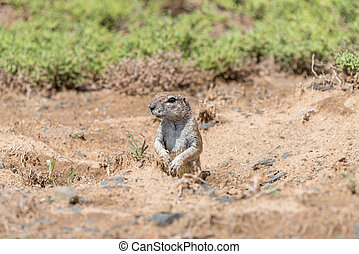 Ground squirrel peeping out from its den - A ground...