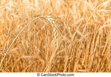 Golden ear of wheat - Golden ripe ear of wheat on the field